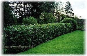 изгородь из растений