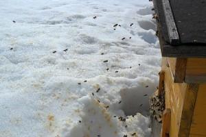 Весенний облёт пчёл и осмотр ульев