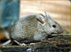 нашествия мышей